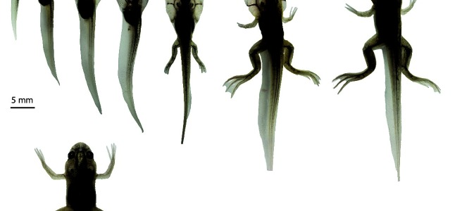 Overview of the developmental stages of Xenopus laevis - i.e. composite of all the individual images with a dorsal view and a white background